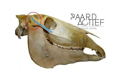 Cranium paard + TMJ gewricht – Paard Actief©