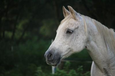 Lady Gaga krijgt wit paard voor de kerst