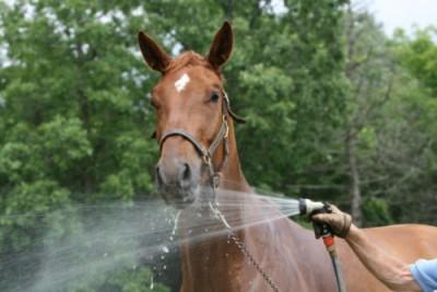 Paard douchen